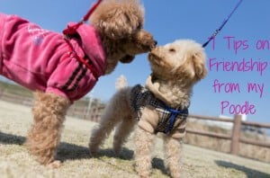 7 Tips on Friendship from My Poodle