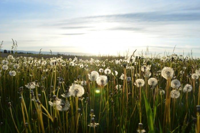 dandelion_field